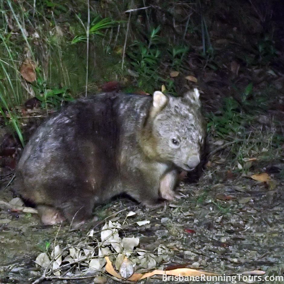 A real life wombat!