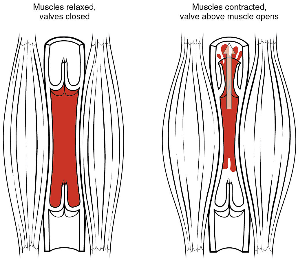 Skeletal Muscle Vein Pump. source OpenStax College - Anatomy & Physiology, http://cnx.org/content/col11496/1.6/  CC 3.0.